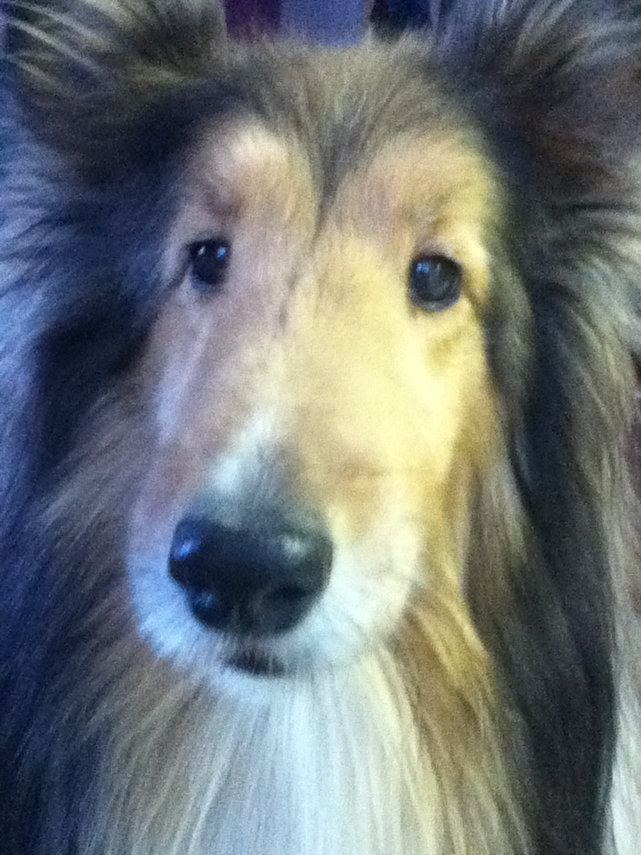 The best sheltie in the world, as long as you don't count barking and annoying wake ups in the middle of the night!
